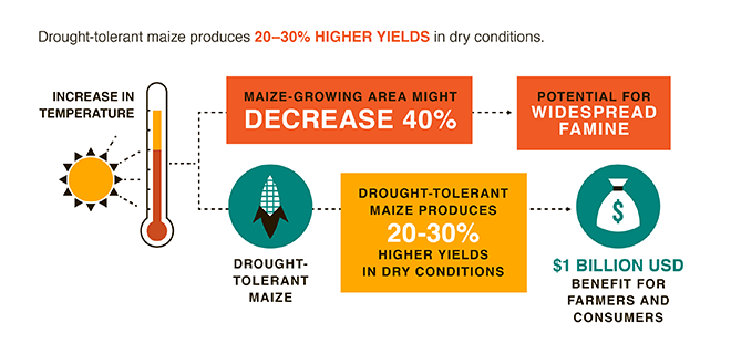 Drought-tolerant maize boosting food security in 13 African