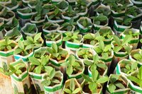 teak seedlings