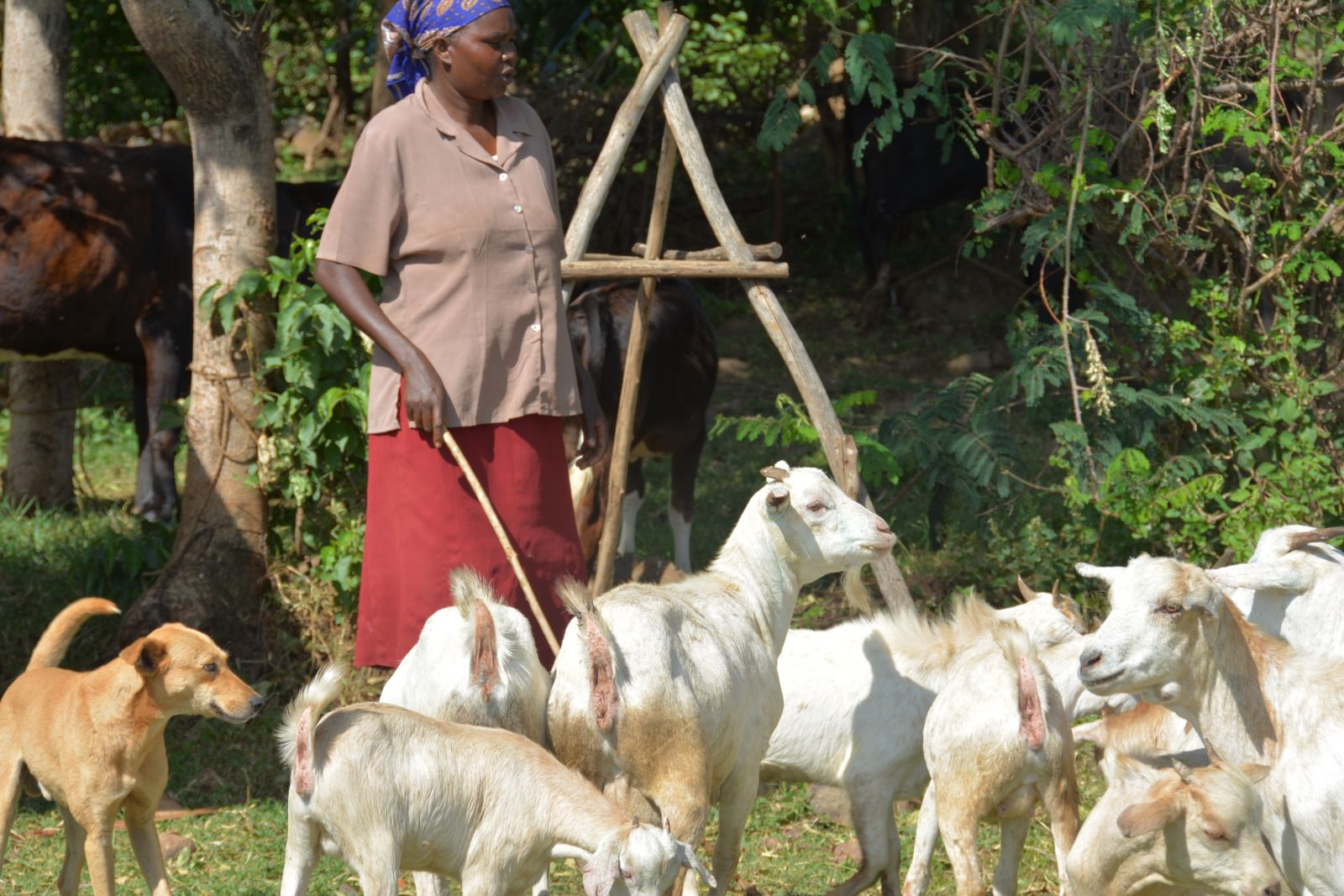 Improved goat breeds