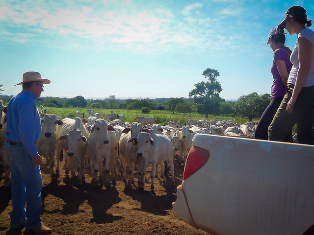 A Brazilian cattle rancher introduces his herd to the researchers.