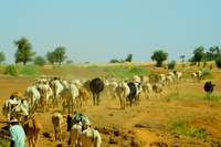 Burkina Faso: cattle in the desert