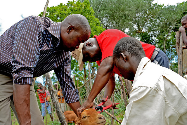 Tagging of red maasai sheep