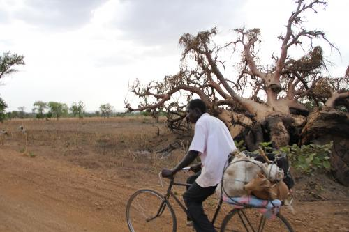 A farmer bicycling from Burkina Faso with livestock for markets in Southern Ghana