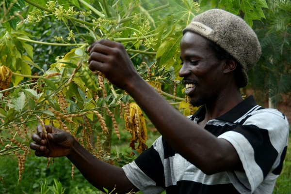 A farmer admires his pigeon pea crop.