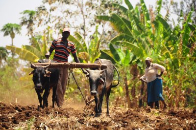 Farmer from Kenya working in the field with his cattle. Adapting to the changing climate in Kenya is crucial in order to sustain farming and the livelihoods that come with it.