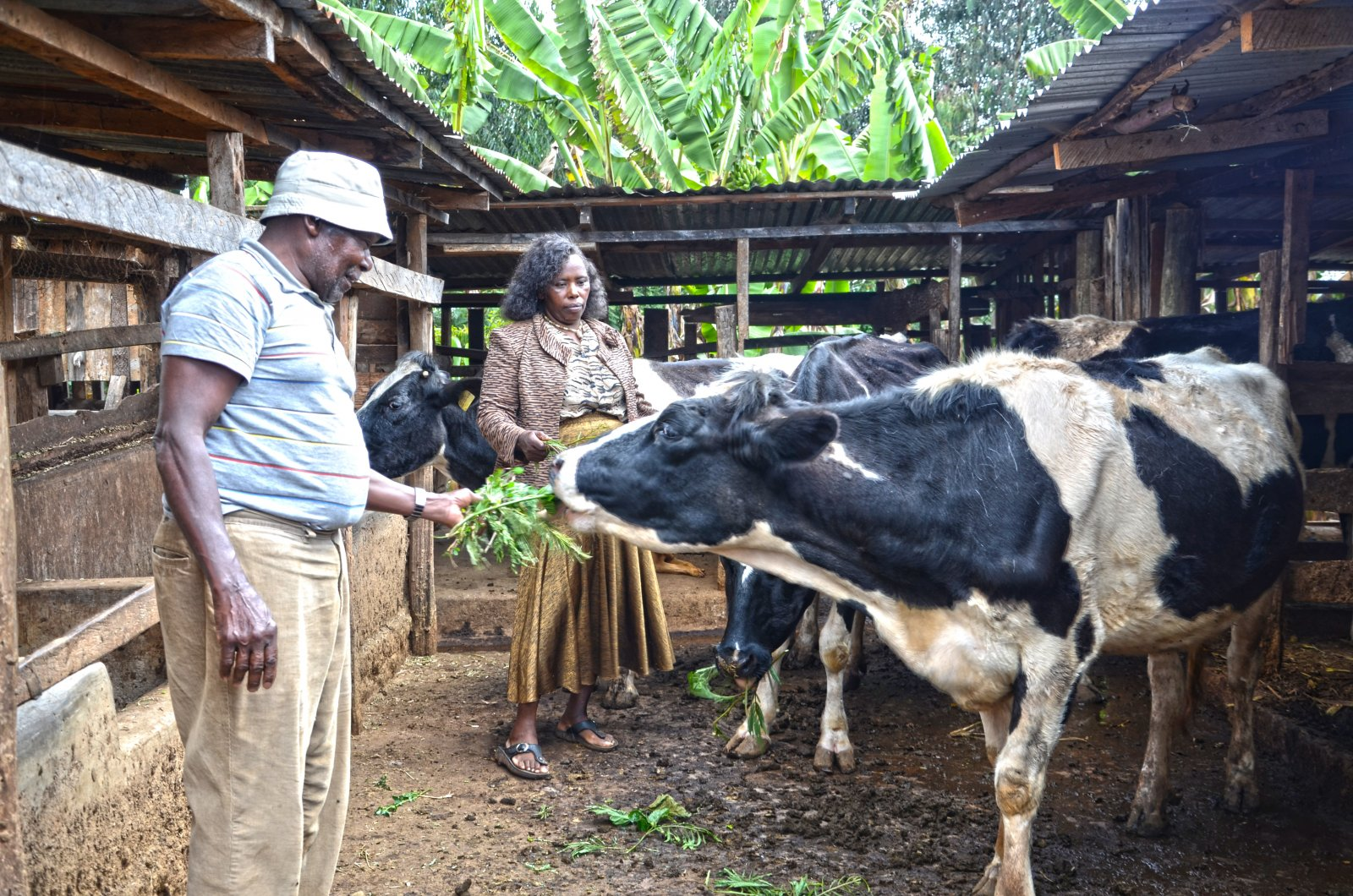 east african dairy development programme adopts climate