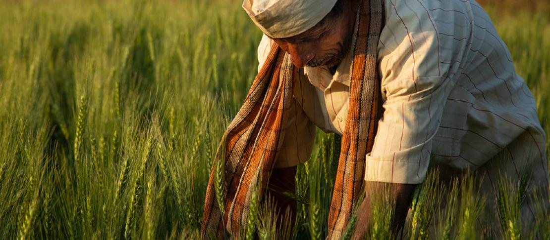 An Indian farmer wearing a red and orange scarf and a white hat leans over in a wheat field at sunset.