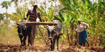 Farmer from Kenya working in the field with his cattle